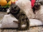 We give our Marmoset Monkeys For Sale