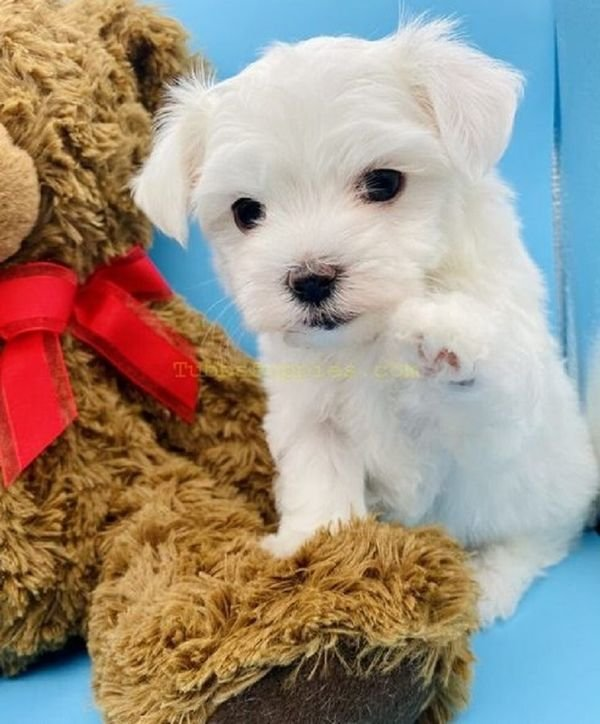 Pedigree Maltese Puppies for sale