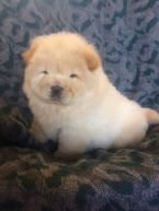 Chow Chow puppies available for Sale