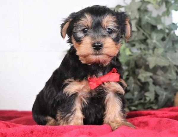 Adorable Yorkshire Puppies Available