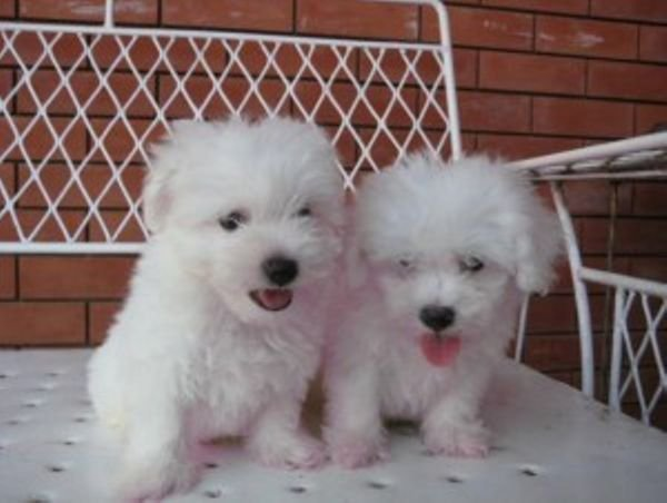 Cute ichon Frise Puppies for sale