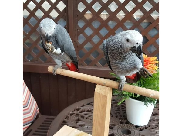 African gray parrots  for sale