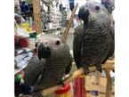 Cute African gray parrots male and female for sale