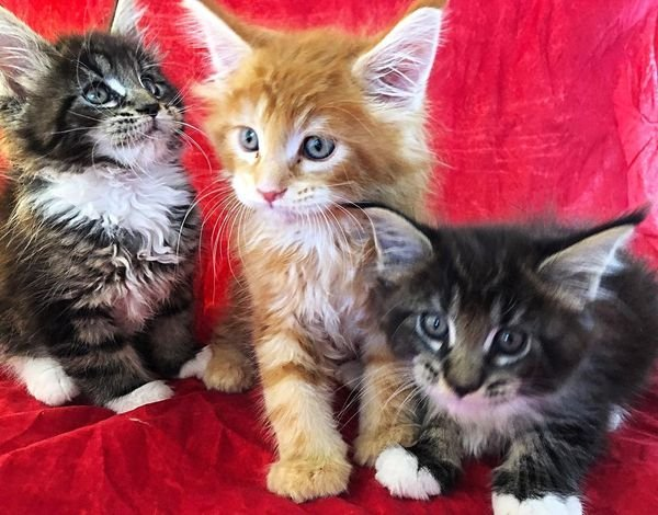 Beautiful full blooded? Maine Coon kittens.