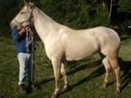 Lovely Arabian Horses For sale