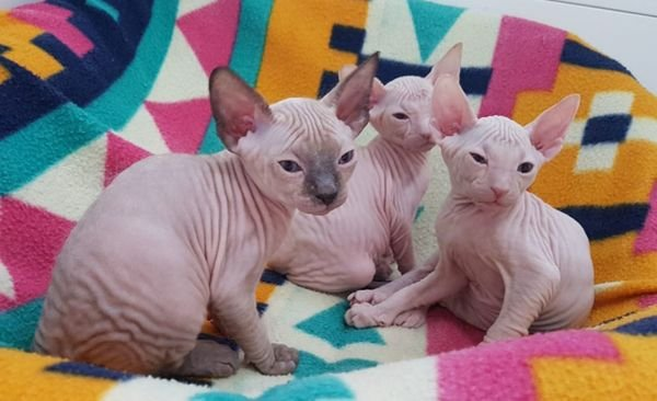 playful Sphynx Kittens Available Now for sale