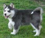 Pure breed Husky puppies Available