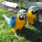 Macaw parrots male and female for sale