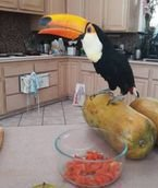 Pair of Toco Toucans for sale