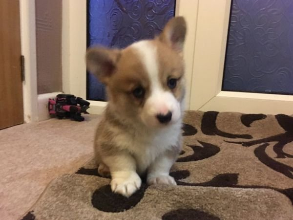 Available Pembroke Welsh Corgi Pups For sale.