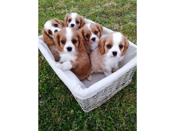 Lovely Cavalier King Charles Spaniel Puppies for sale