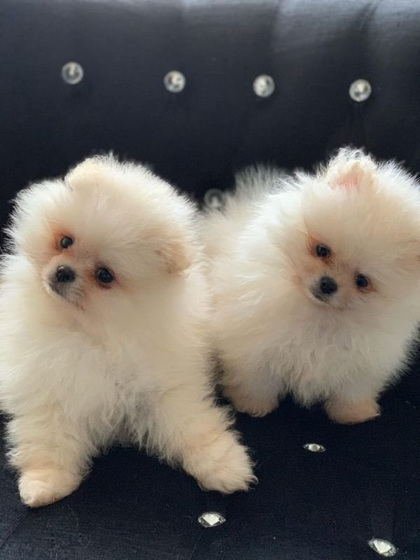 Teacup  Pomeranian  Puppies for sale/whatsapp  055 226 3211