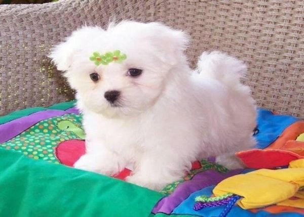 sweet maltese puppies for adoption there are lovely and caring any home will be good for t