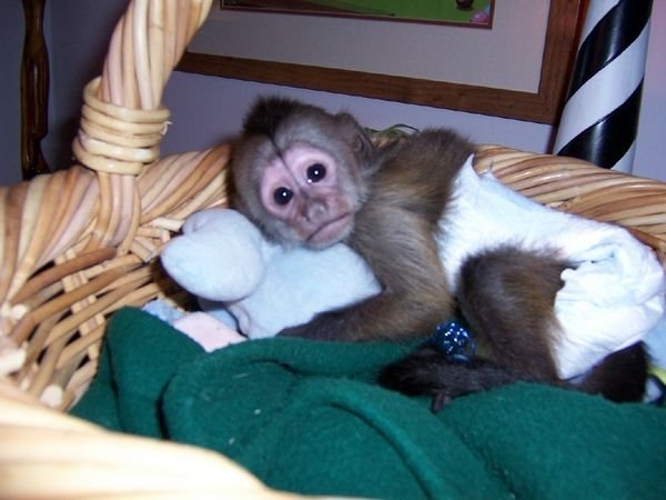 Home Raised and Playful Capuchin Monkeys