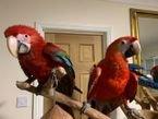 Green Wing Macaw For Sale.