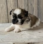 Beautiful Shih Tzu puppies available