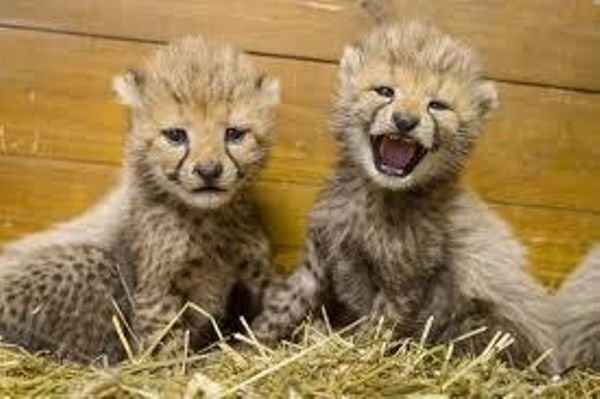 Adorable Tigers, Cheetah Cubs For Sale