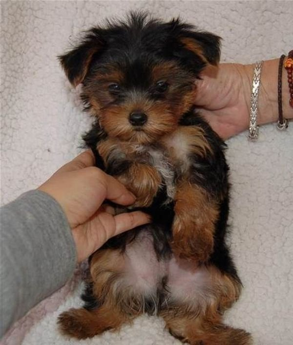 Tiny yorkies male and female for sale