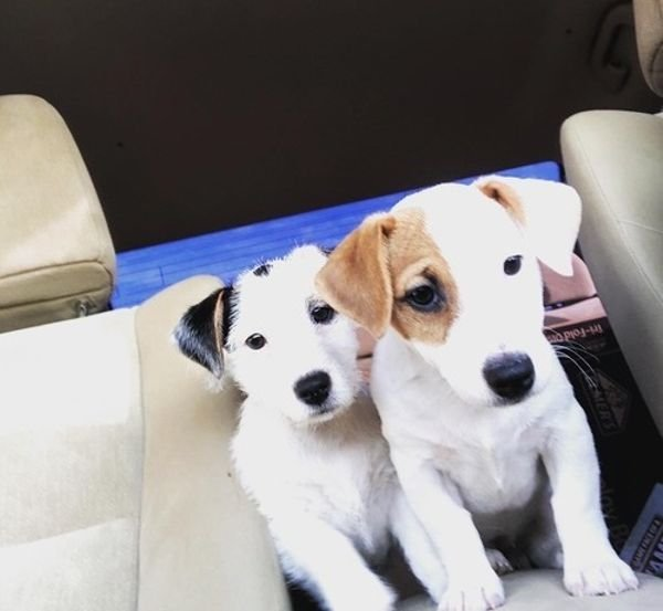 Jack Russell Terrier Puppies ready to go