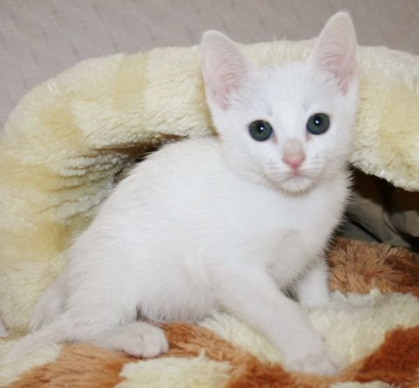 Adorable Khao Manee Kittens for sale
