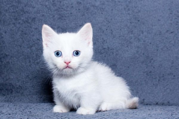 Beautiful Munchkin Kitten for sale