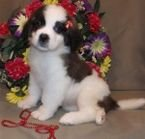 Cute Saint Bernard Puppies for Sale