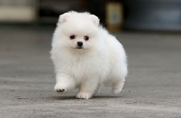 Fluffy White Pomeranian puppies for sale