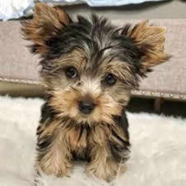 Looking for homes for our first Tea Cup Yorkie puppies!