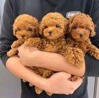 Awesome Toy Poodle puppies all ready for rehoming