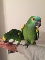 Smart male and female Amazon parrots good for  sale