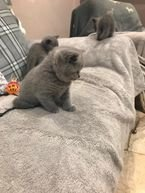 Lovely British Shorthair Kittens For Sale