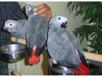 African Grey Parrots for adoption whatshapp +971504185305