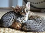 Lovely Savannah Kittens for sale