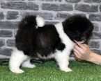 Cute and Lovely Akita Puppies for sale