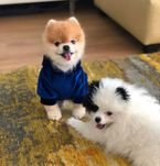 Male and female Pomeranian puppies for adoption Pv