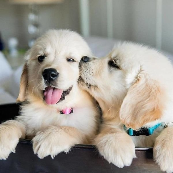 Lovely Golden retriever Puppies Available for sale.