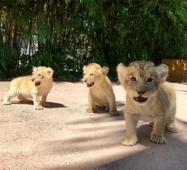 Cute Lions Cubs for sale