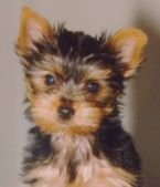 Charming Teacup Yorkie Puppies
