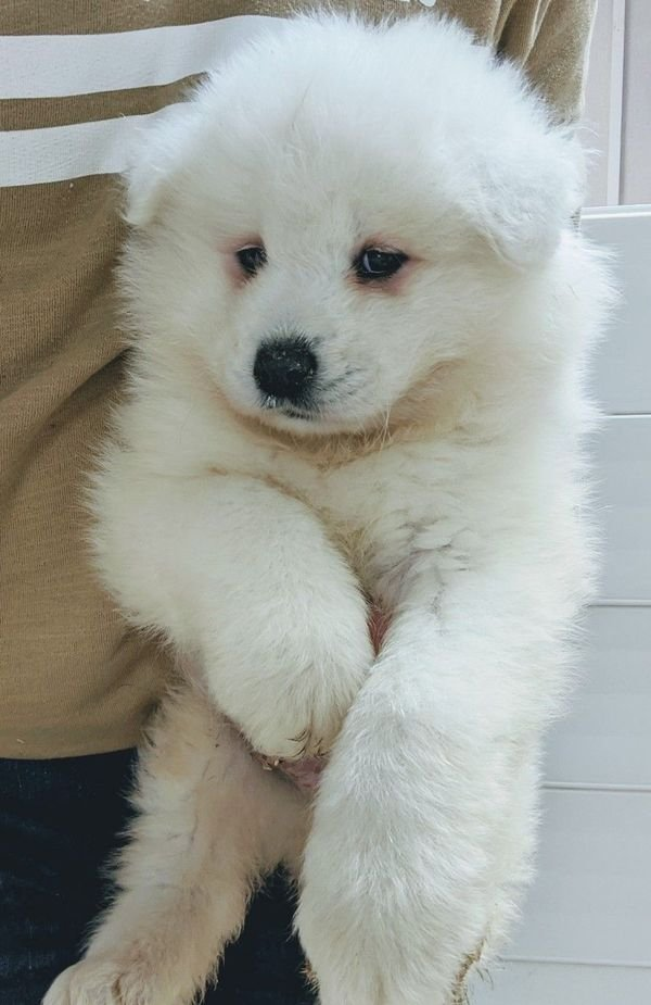 Adorable samoyed Puppies for sale