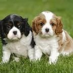 King Charles Puppies