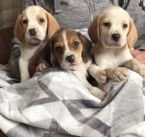 Adorable Beagle Puppies Ready Now whatshapp +971504185305