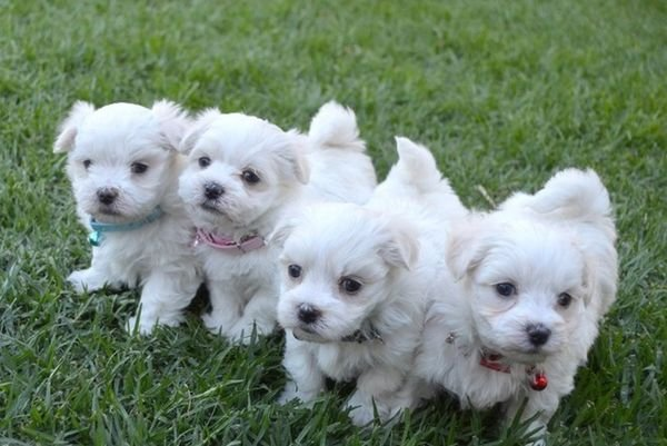 A cute Maltese puppy that will melt your heart.