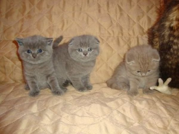 Lovely  Scottish Fold Kittens sale