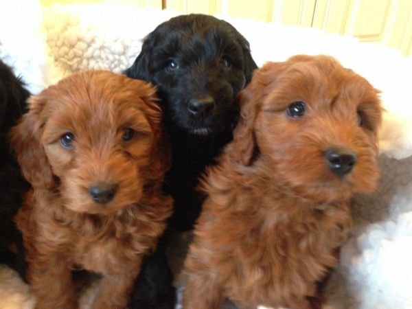 Poodle Puppies Available