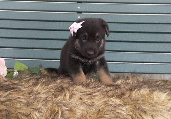 Beautiful German Shepherd puppies available