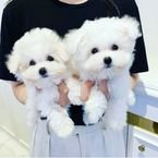 Potty Trained Male and Female Teacup Maltese Puppies for sale .