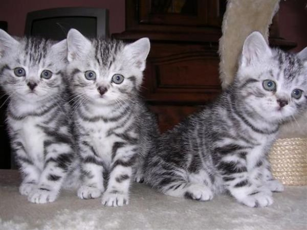 Gorgeous British Shorthair Kittens
