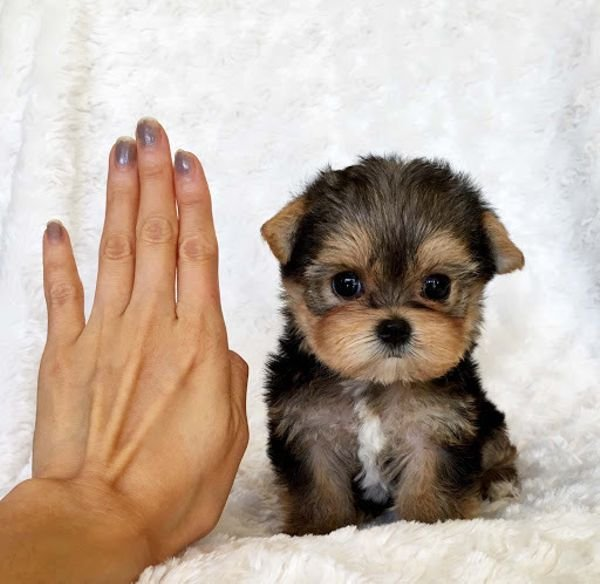 Quality Tiny Yorkie Puppies For Sale