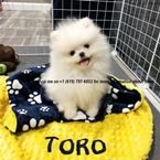 white male and female pomeranian puppies for sale