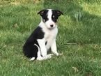 Beautiful Merle   Border Collie
